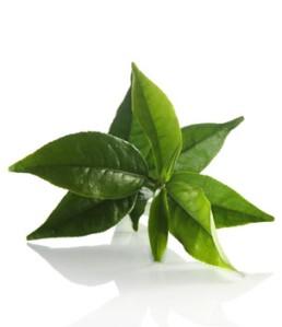 green-tea_the-vert
